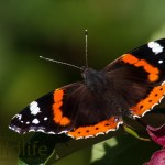 Red Admirals Everywhere