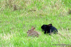 """Melanistic """"black"""" rabbits occur quite regularly in some populations"""