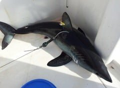 A tagged Irish porbeagle shark about to be returned to the sea