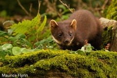 A Waterford Pine Marten © Maurice Flynn, All Rights Reserved