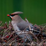 Waxwing invasion of Ireland continues
