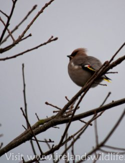 Waxwing in Clonakilty Co. Cork, Ireland