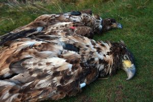 White-tailed eagles poisoned in Cork and Kerry