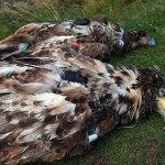 White-tailed Eagles Found Dead in Co. Cork and Co. Kerry