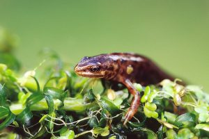 Smooth Newt by Andrew Kelly
