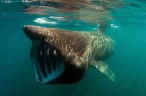 Basking Shark Ireland
