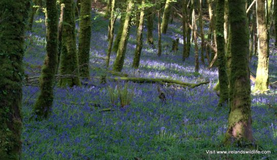 Bluebells carpet an Irish woodland
