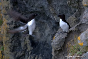 A razorbill coming back to its nest on an Irish cliff