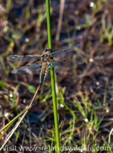 Four spotted chaser at rest