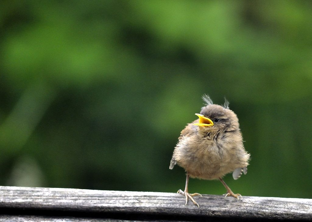 Young Wren recently fledged