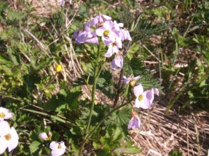 The Cuckoo Flower on the Calendar Road