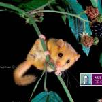 Hazel Dormouse Ireland