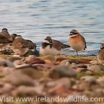 Early start for Ireland's first Lesser Sand Plover (Charadrius mongolus)