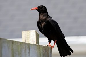 Chough, Rosscarbery