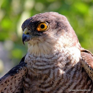 Sparrowhawk portrait Ireland's Wildlife