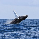 New humpback whale recorded in Irish waters
