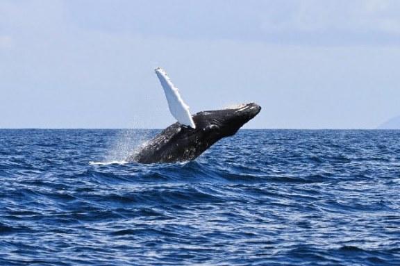 New Irish Humpback Whale