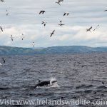 National Whale Watching event on Sunday 18th August