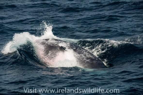 Lunge feeding minke whale