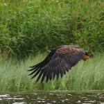 First Irish white-tailed eagle chicks fledge at Mountshannon, Co. Clare
