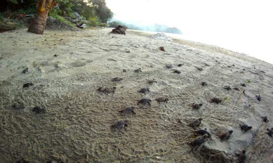 Turtle hatchlings making their way to the sea