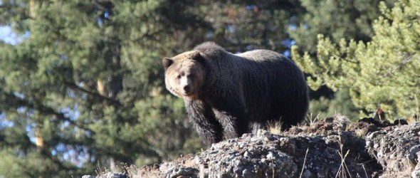 Grizzly at Yellowstone National Park
