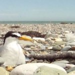 Kilcoole Little Tern Conservation Project: a video documentary