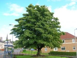 A Sycamore Tree