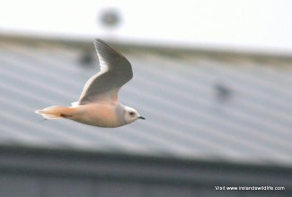 Ross's Gull, Kinsale, Co. Cork