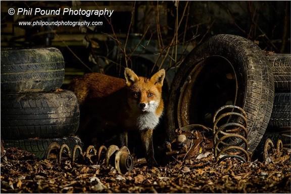 Junkyard Fox