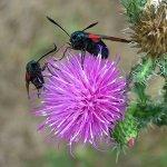 Six-spot Burnet moths on a thistle flower