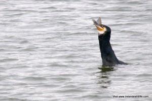 Greedy cormorant