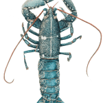 Study of Lobster