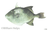 Study of Trigger fish