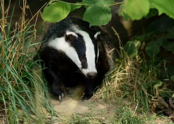 Should Irish badgers be classed as a separate subspecies? Allan McDevitt and Denise O'Meara investigate....
