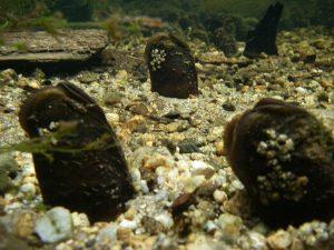 Ireland's Wildlife: Freshwater Pearl Mussel (Margaritifera margaritifera)