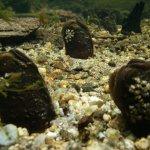 Freshwater Pearl Mussel (Margaritifera margaritifera)