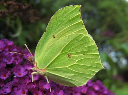 The stunning Brimstone butterfly
