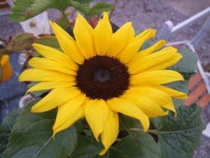 SunflowerJune2014300x225