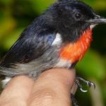 Wakatobi Flowerpecker — new bird discovered by Irish scientists