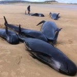 Pilot whales strand on Donegal beach
