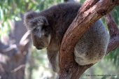Sleepy koala mark II