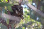 Sleepy koala Mark III