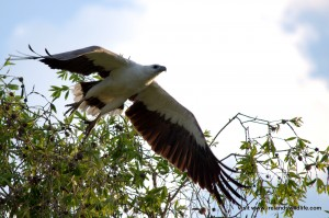 white bellied sea eagle wetland cruise Northern Territory