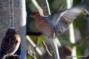 Feeding garden birds: chaffinch