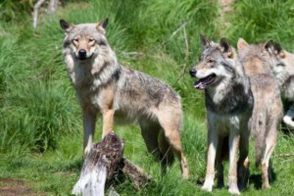 Grey Wolf Norway