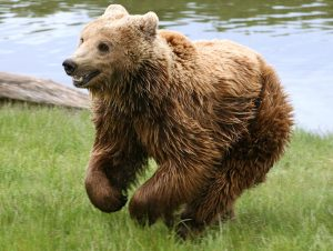 Eurasian Brown Bear