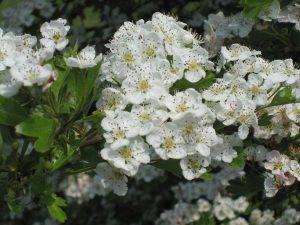 Hawthorn (Crataegus monogyna) blossom in spring