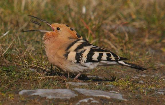 Hoopoe invasion of Ireland -- photo by Andrew Malcolm