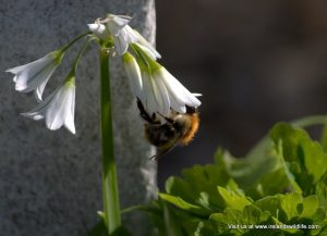 Early flowers provide vital food for pollinators